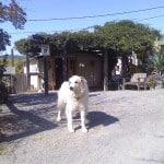 Carignane at Porter Creek Vineyards