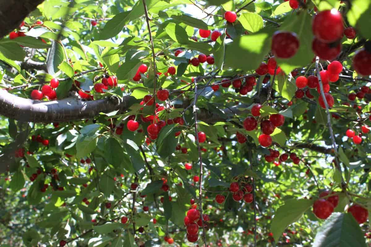 sour cherries at Battleview Orchards in New Jersey