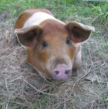 Bringing Home the Bacon: Pig Farming in Maine
